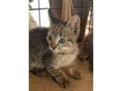 Adopt Haneul a Tiger Striped Domestic Shorthair (short coat) cat in Los Angeles
