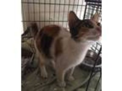 Adopt Rainbow a White Domestic Shorthair / Domestic Shorthair / Mixed cat in St.