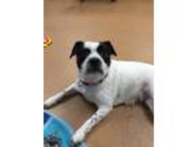 Adopt Leah a White - with Black Boston Terrier / Border Collie / Mixed dog in