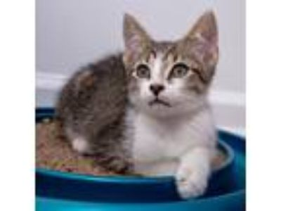 Adopt BONKERS (Domino) a Domestic Shorthair / Mixed cat in Woodstock