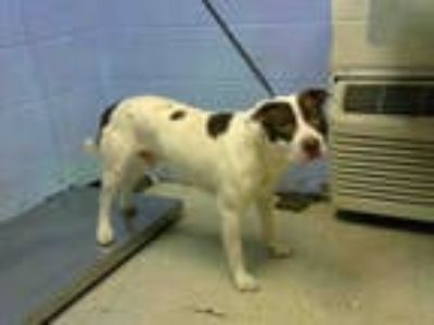 Adopt BOX a White - with Brown or Chocolate American Pit Bull Terrier / Mixed