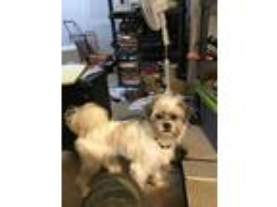Adopt Alex a White - with Brown or Chocolate Shih Tzu / Terrier (Unknown Type