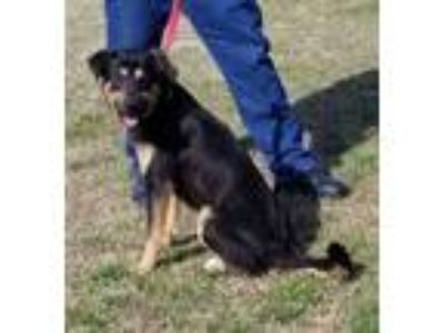 Adopt NEWT a Black Shepherd (Unknown Type) / Mixed dog in Clinton, NC (24824991)