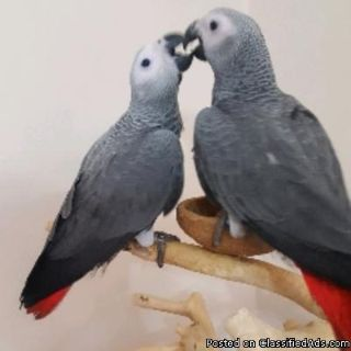 A Pair of Talking African Grey Parrots For Christmas
