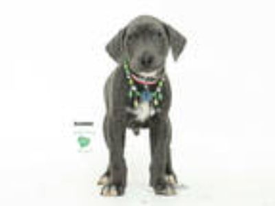 Adopt a Gray/Silver/Salt & Pepper - with White Great Dane / Weimaraner / Mixed