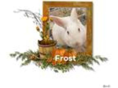 Adopt Frost a Albino or Red-Eyed White Florida White / Mixed rabbit in Morgan