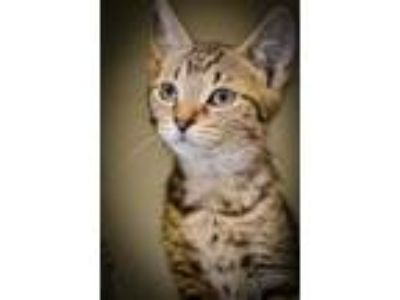 Adopt McQueen a Brown or Chocolate Domestic Shorthair / Domestic Shorthair /