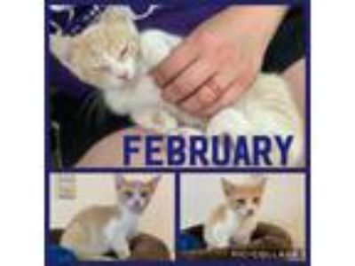 Adopt February a Orange or Red Tabby Domestic Shorthair (short coat) cat in