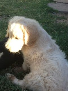 Goldendoodle PUPPY FOR SALE ADN-103559 - F1 Standard Goldendoodle