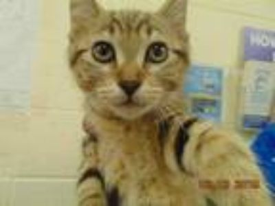 Adopt CHILI a Brown Tabby Domestic Shorthair / Mixed (short coat) cat in