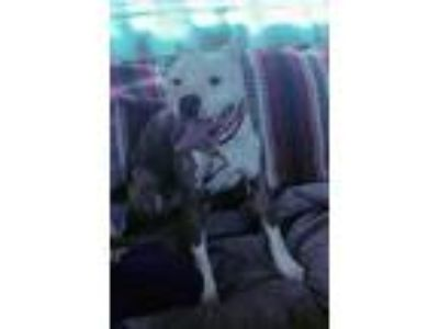 Adopt Magic a White American Pit Bull Terrier / Mixed dog in Denver