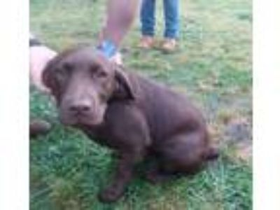 Adopt Tootsie Roll a Chocolate Labrador Retriever