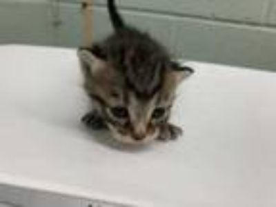 Adopt 42219227 a Gray or Blue Domestic Shorthair / Domestic Shorthair / Mixed