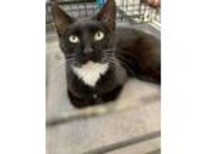 Adopt Darlene a Domestic Short Hair