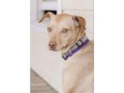 Adopt Pearl $125 a Pharaoh Hound