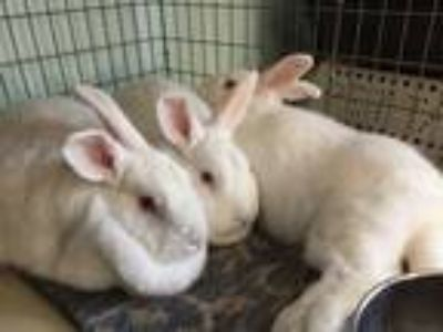 Adopt Jade a White Florida White / Mixed rabbit in Woburn, MA (17641812)