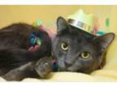 Adopt Bagel a Domestic Short Hair