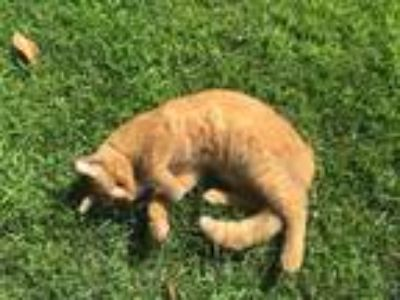Adopt Tommy a Orange or Red Tabby Domestic Shorthair cat in Anaheim