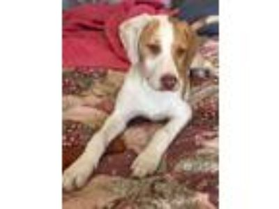 Adopt Tessa a Yellow Labrador Retriever, Mixed Breed