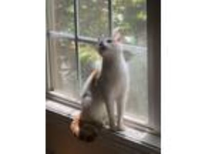 Adopt Petra a White (Mostly) American Shorthair / Mixed cat in Kathleen