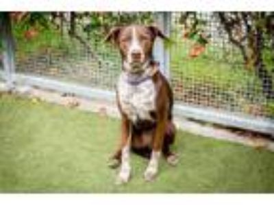 Adopt Judy a German Shorthaired Pointer