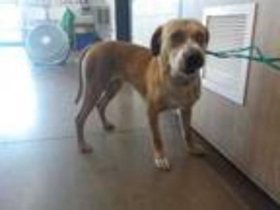 Adopt a Red/Golden/Orange/Chestnut Labrador Retriever / Mixed dog in Temple