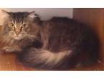 Adopt Moxy - semi-feral a Maine Coon, Domestic Medium Hair