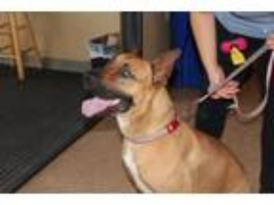 Adopt King a Belgian Shepherd / Malinois, Mixed Breed