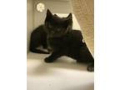 Adopt Barn Kitten Stitch a Domestic Short Hair