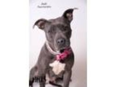Adopt Jade a Pit Bull Terrier