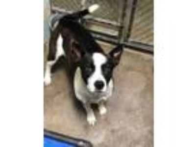 Adopt Peggy a Black Border Collie / Mixed dog in Florence, AL (24818972)