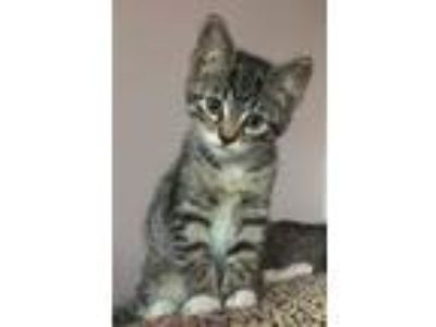Adopt Elizabeth a Gray, Blue or Silver Tabby Domestic Shorthair (short coat) cat