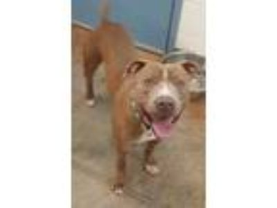 Adopt Warrior a Brown/Chocolate American Pit Bull Terrier / Mixed dog in