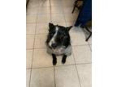 Adopt Leroy a Black - with White Labrador Retriever / Mixed dog in San Antonio