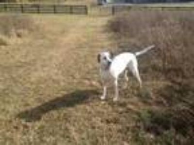 Adopt Ika a White St. Bernard / Pointer / Mixed dog in Shelbyville