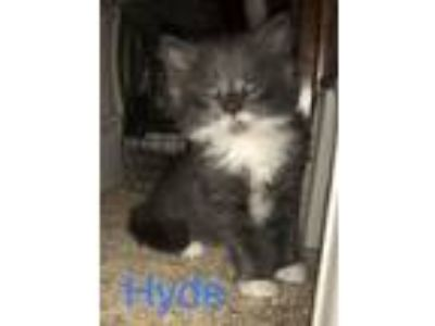 Adopt Hyde a Domestic Short Hair