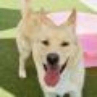 Henrik Shepherd - Yellow Labrador Retriever Dog