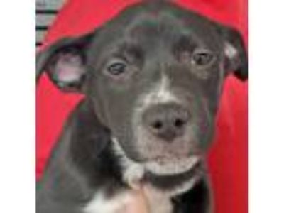 Adopt Air Force a Shepherd (Unknown Type) / Australian Cattle Dog / Mixed dog in