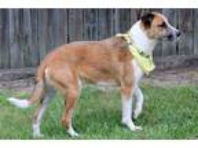 Adopt 190996 Sisko a Tan/Yellow/Fawn - with White German Wirehaired Pointer /