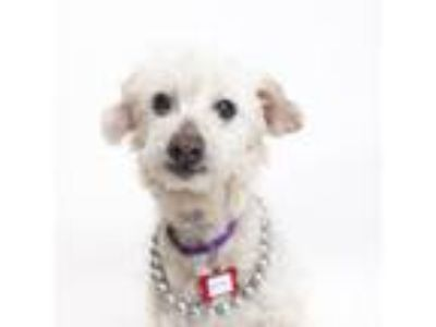 Adopt Pecan a Poodle, Mixed Breed
