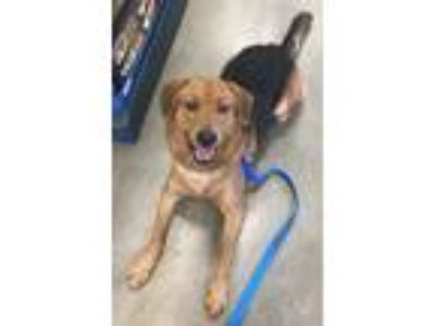 Adopt Loki a Brown/Chocolate - with Black Beagle / Australian Shepherd / Mixed