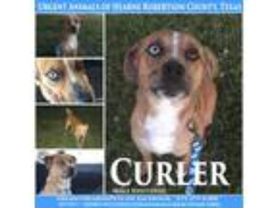 Adopt Curler a Tan/Yellow/Fawn - with White Catahoula Leopard Dog / Mixed dog in