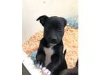 Adopt Butterscotch's pups a Brown/Chocolate - with Black Terrier (Unknown Type