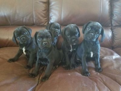 Cocker Pug PUPPY FOR SALE ADN-96342 - Puckers