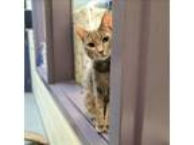Adopt Sapphire a Domestic Shorthair / Mixed cat in Charlottesville