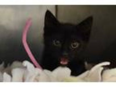 Adopt Squirrel a All Black Domestic Shorthair / Domestic Shorthair / Mixed cat