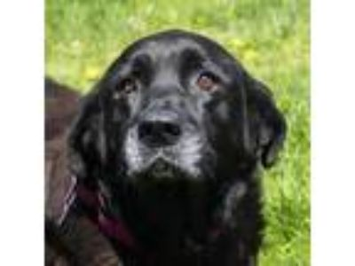Adopt Ruth a Black Retriever (Unknown Type) dog in Middletown, RI (25313099)
