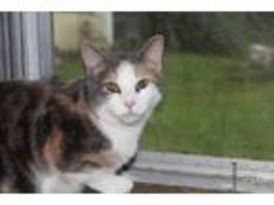 Adopt China a Domestic Short Hair, Dilute Calico