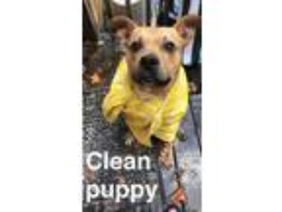 Adopt Penny a Tan/Yellow/Fawn Pit Bull Terrier / Mixed dog in Lynchburg