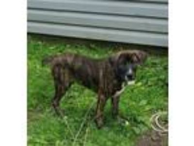 Adopt Pee Wee a Brindle - with White Boxer / Mixed dog in Clifton Park